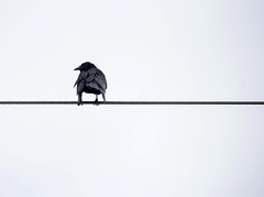 The Lonely Crow (revisited) (BethHarcek - Back on Track) Tags: black nature birds wings wire wildlife feathers crows blinkagain bestofblinkwinners blinksuperstars bestofsuperstars blink4gallery