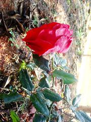 flores são fotogênicas por natureza (I.souza) Tags: sonydscw90 setembrochove