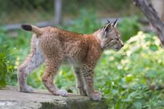 lynx cub (Cloudtail the Snow Leopard) Tags: wildpark pforzheim tier animal mammal säugetier katze cat feline luchs lynx cub jung kitten cloudtailthesnowleopard