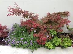 (amt40) Tags: garden japanesemaple acer deciduous shrubs palmatum arcejapons uploaded:by=flickrmobile flickriosapp:filter=nofilter