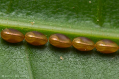 Golden eggs, Hemipteran? (Anthony Kei C) Tags: goldeneggs