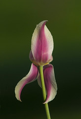 Dancing Petals (a56jewell) Tags: pink ontario flower dance spring may tulip a56jewell