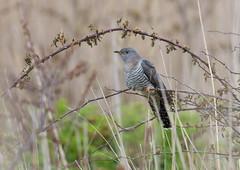 Cuckoo (Markp33) Tags: