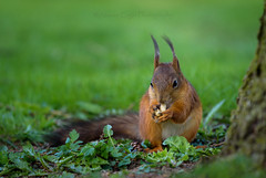 ATA_9505 (Photographer Atacan Ergin) Tags: squirrel orava kurre