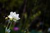"_MG_2155 (阿蒯) Tags: travel flowers school trees summer white plant macro water yellow photography asia university lotus bokeh taiwan taichung 台灣 植物 水 花朵 荷花 蓮花 植物園 學校 黃色 白色 夏天 樹 睡蓮 wufeng formosan garden"" 阿勃勒 霧峰 台中市 ""depth field"" ""water lilies"" ""botanical 亞洲大學 canon5d2 阿蒯的家"