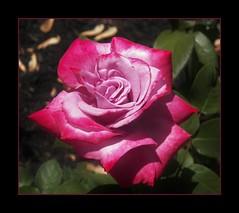 DillyDilly--LavenderPink (MissyPenny) Tags: pink flower rose garden lavender lavenderrose bristolpennsylvania pdlaich
