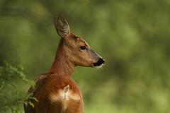 Roe Deer Doe (Fredrik Stige/Wildlife Photography) Tags: nature animal norway mammal wildlife doe deer roedeer