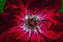 IMG_7874tzl1scTBbLGE (ultravivid imaging) Tags: ultravividimaging ultra vivid imaging ultravivid colorful canon canon40d flower redflower