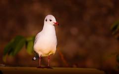 Peace-seagull (Yasmine Hens) Tags: mouette seagull bird hensyasmine namur belgium wallonie europa aaa  belgique blgica    belgio  belgia   bel be 7dwf faune