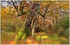 Herbstlicht im Wald (Gerald Paetzer) Tags: bume baum wald herbst hessen licht outdoor landschaft urwald baumstamm stamm reinhardswald mystik mrchen natur nature