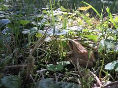 la belle qui me surveillait (laetitiablabla) Tags: grenouille rousse batracien animal nature grass herbe frog yonne bourgogne burgundy france through eyes