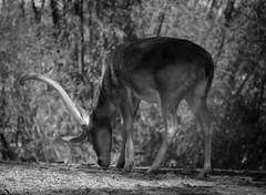 Road less traveled... (tshabazzphotography) Tags: deer wildlife animals zoo park florida orlando attractions disney canonoffical canon nature monochrome blackandwhite disneyanimalkingdom