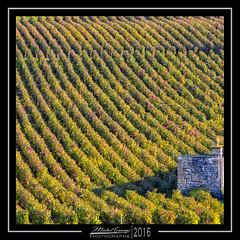 Clos Saint-Jacques 3 (mg photographe) Tags: clos vignes gevrey chambertin bourgogne burgundy vendanges