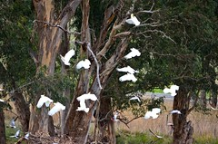 IMG_2652 (Sandy-Lea) Tags: cockatoos cockatoo galahs galah gum gumtree pre storm