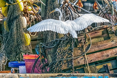 Great Egret - Chains and Nets (Gordon Magee) Tags: bird shemcreek greategretardaalba shrimpboats