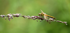 Black Darter (f) (nick edge) Tags: blackdarter darter dragonfly dragonflies wildlife wildlifephotography nature naturephotography nikon nikond7200 sigma105mm bokeh insect corscaron tregaronbog ceredigion wales