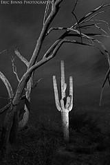 Framed by Wood (Eric Binns Photography) Tags: desert sonorandesert tontonationalforest landscape sky outdoors tree strobist pocketwizard offcameralighting arizona saguaro cactus blackandwhite