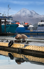 Slumbering Giant (rishaisomphotography) Tags: sealion sleeping napping ocean seamammal water harbor crabboats mountain snow nature naturephotographer alaska kodiak wild wildlife wildlifephotography stellarsealion eumetopiasjubatus dogbay