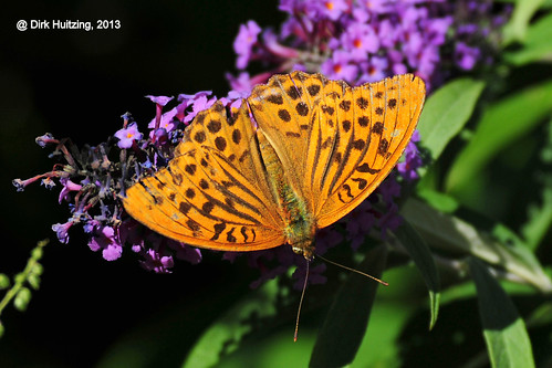 Silver-washed Fritillary 304783gb