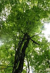 Green Trees (Bill Smith1) Tags: asahipentaxkx believeinfilm billsmithsphotography fall2016 heyfsc jacksonlake lomo400c41 muskoka smcpentaxm50f14lenslens filmshooterscollective