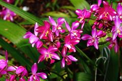 MASS BLOOM (R. D. SMITH) Tags: flowers nature plant bloom pink naturephotography verobeachflorida mckeebotanicalgarden