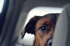 DSC_0136 copy (Lizmauren) Tags: dog doglife doglove mutt pet hike hiking nikon