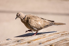 Collared dove (apmckinlay) Tags: animals birds nature pigeons