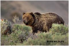 Grizzly Bear  YNP 050214-2640-W.jpg (RobsWildlife.com  TheVestGuy.com) Tags: robswildlife bear grizzly robswildlifecom bears yellowstonenationalpark 050214 grizzlybear 2014robswildlifecom