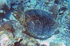 Echte Karettschildkrte (astroaxel) Tags: malediven diamonds thudufushi resort unterwasser schnorcheln echte karettschildkrte schildkrte wasserschildkrte