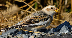 Snow Bunting (snooker2009) Tags: snow bunting bird migration fall spring winter nature wildlife pennsylvania cold