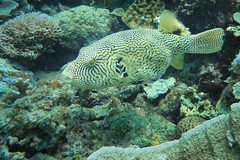 Map Puffer in the bay (Sven Rudolf Jan) Tags: tufi papuanewguinea diving corals mappuffer fish jan hasselberg