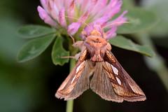 Chrysodeixis chalcites (STE) Tags: chrysodeixis chalcites falena moth macro trifoglio flower