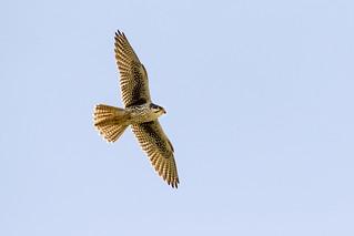 Prairie Falcon ...explored