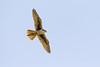 Prairie Falcon ...explored (alicecahill) Tags: california usa sanbenitocounty wildlife ©alicecahill bird wild prairiefalcon raptor falcon animal