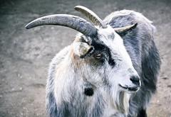 Who are you kidding? (Kris Mouser-Brown) Tags: nikon d7200 18105mm goat animal eyes lightroom adobe horns horn horny fur hair grey