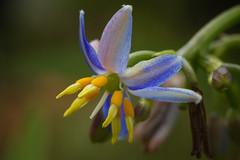 IMG_5142-Edit (LowellTyler) Tags: 7d dianellasandwicensis flowers hawaiianlily mpe65 macro ukiuki
