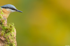 Nuthatch (Images from the Wild) Tags: