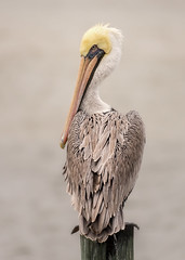 Always an Eye on Me (Richard G G) Tags: pelican swansboro nc docks bird southern outer banks