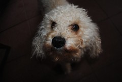 Copito (Ayrton Blunt) Tags: dog dogstyle doglover puppy poodle perro cane hund inu animal black cute sweet pet doggy
