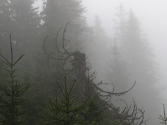 Weird creature (aniko e) Tags: fog nebel mist haze tree trees forest hiking outdoor ascherjoch semmelkopf ursrpungtal trockenbach spruce austria sterreich tour trail autumn tirol tyrol trockenbachtal picea piceaabies fichte gemeinefichte norwayspruce lucfeny kznsgeslucfeny