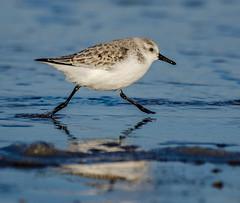 Walking on Water (Peter Quinn1) Tags: sanderling holme holmedunesnnr surf waves beach norfolk norfolkwildlifetrust