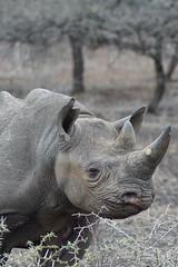 DSC00350 (Cyn Reynolds) Tags: blackrhino a77ii 2016 sooc zulunyala southafrica