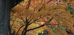 Butterscotch (Harry Lipson III) Tags: butterscotch yellow gold trees glade forest foliage autumn fall harrylipson harrylipsoniii