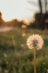 Dandelion (ambrasimonetti) Tags: dandelion soffione nature overshadow backlight bokeh saveearth
