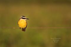 Bird on a....... (Jamie B Ernstein) Tags: socialflycatcher flycatcher bird yellow feathers animal wild wildlife nature natural stripes nikon brazil pantanal matogrosso portrait