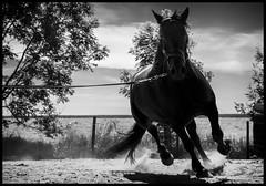 Training Day (Ramon Quaedvlieg Photo) Tags: horse horses animalia chordata mammalia perissodactyla equidae equus equusferuscaballus nature animal animals mérens chevaldemérens ariégeois ariégeoispony outdoor blackandwhite blackandwhitephotography black blackhorse equestrian 2470l