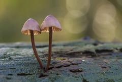 Just the two of us II (Erik0067) Tags: mushroom bleeding grote bloedsteel mycena fairy helmet paddenstoel pilze hongo seta champignon autumn otoño dof