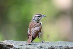 Carolina Wren (av8s) Tags: carolinawren wren songbirds perchingbirds birds wildlife nature photography nikon d7100 sigma 120400mm pennsylvania pa
