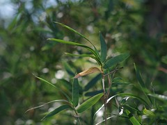 Generating Oxygen (bamboosage) Tags: helios 402 1585 preset m42 russia