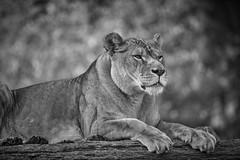 je fais le sphinx (rondoudou87) Tags: lionne lion noiretblanc noir blanc black blackwhite monochrome parc zoo reynou pentax k1 natur nature wildlife wild wildcat